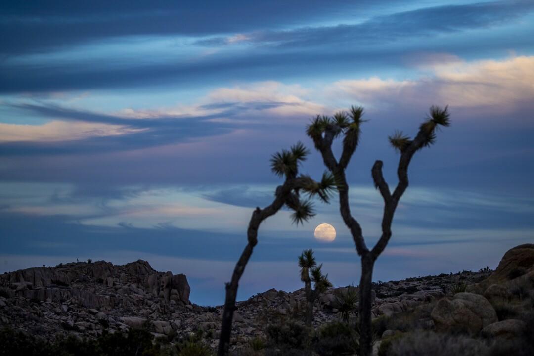 Nuvole e alberi di Joshua incorniciano la vista della luna sanguinolenta dei fiori che si eleva sopra il Joshua Tree National Park.