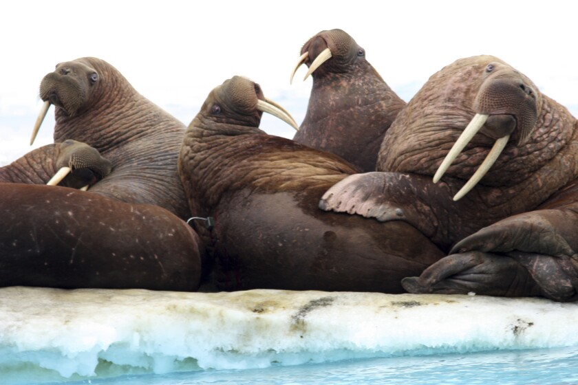 This July 20, 2011, photo provided by the U.S. Geological Survey shows Pacific walruses resting on an ice flow in the Chukchi Sea, Alaska.