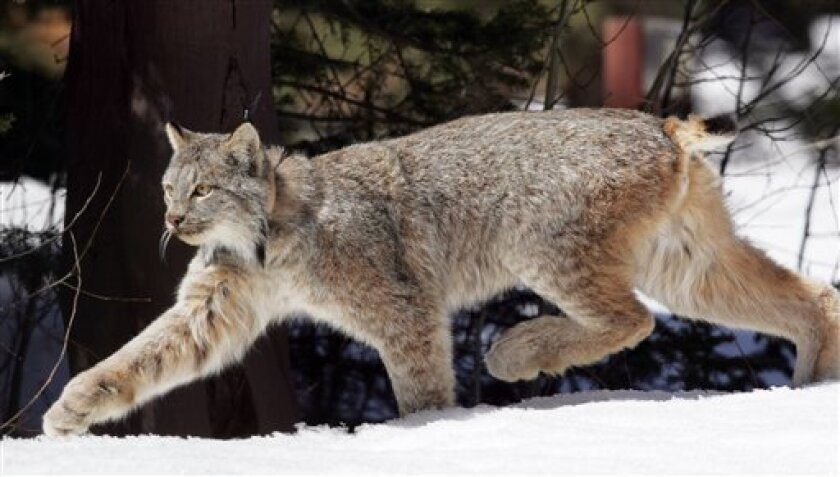 FILE - This April 2005 file photo shows a Canada lynx heading into the Rio Grande National Forest near Creede, Colo. Wildlife advocates have asked a federal court to force the government to come up with a recovery plan for Canada lynx 13 years after the snow-loving wild cats were declared a threate