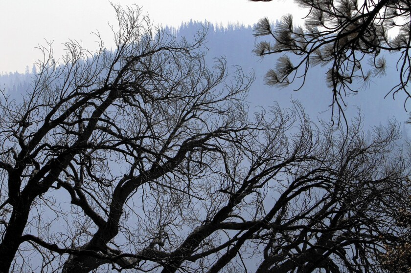Burned trees in Stanislaus National Forest
