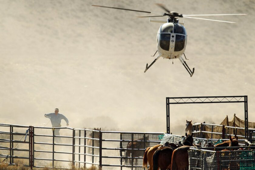 Helicopters are commonly used to herd wild mustangs into temporary corrals before they are loaded into trailers and hauled away. This roundup in Nevada's Antelope Valley netted 180 horses.