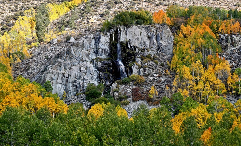 Aspens turning gold around a rock outcrop on the road to South Lake in the Eastern Sierra.