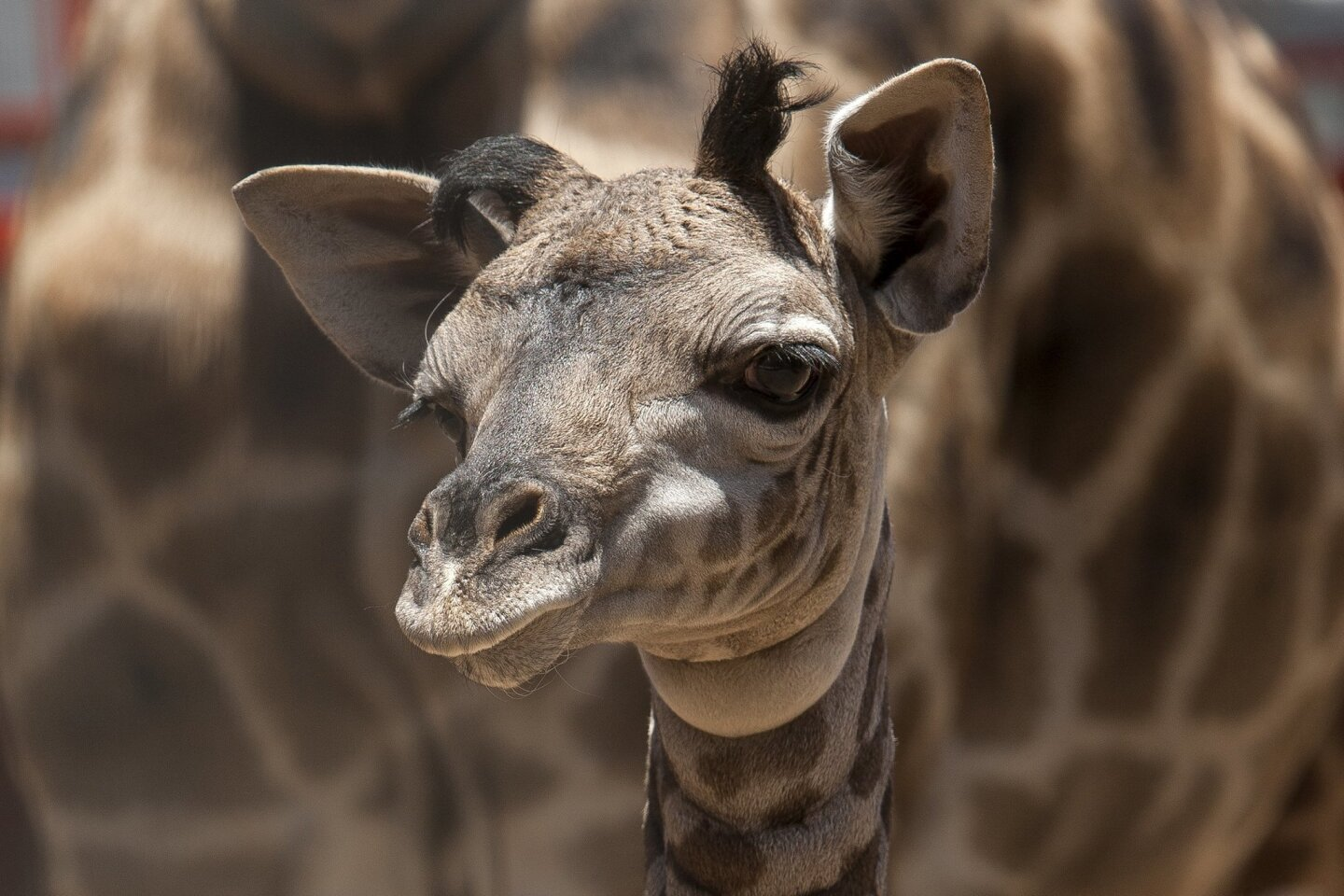 Masai Giraffe Calf Deemed Healthy and Strong after First Medical Exam at San Diego Zoo.