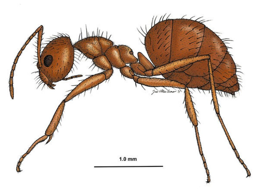 An illustration shows the tawny crazy ant, a South American invasive species that first was found in Texas in 2002 and since has spread to at least three other Gulf Coast states.