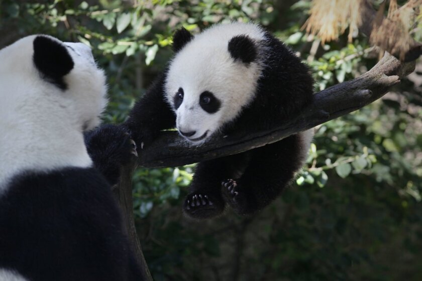 The baby panda Xiao Liwu at seven months.