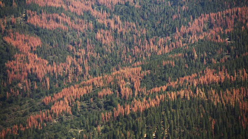 Large swaths of brown dead trees on the Western slopes of the Sierra Nevada Mountains on July 28, 2015.