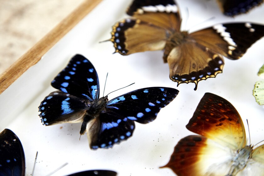 Some of the butterflies captured by Mark Williams are on display in his office. He started collecting at 5 and says he was an avid lepidopterist by 7.