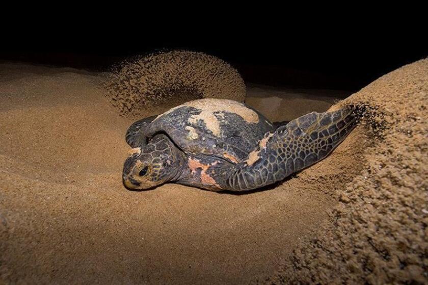 Fotografía cedida por Isaí Domínguez y fechada el 8 de diciembre de 2017, muestra un ejemplar de tortuga prieta (Chelonia agassizii), desovando en playas de Coloca, en el municipio de Aquila en Michoacán, (México). EFE/Isaí Domínguez/SOLO USO EDITORIAL