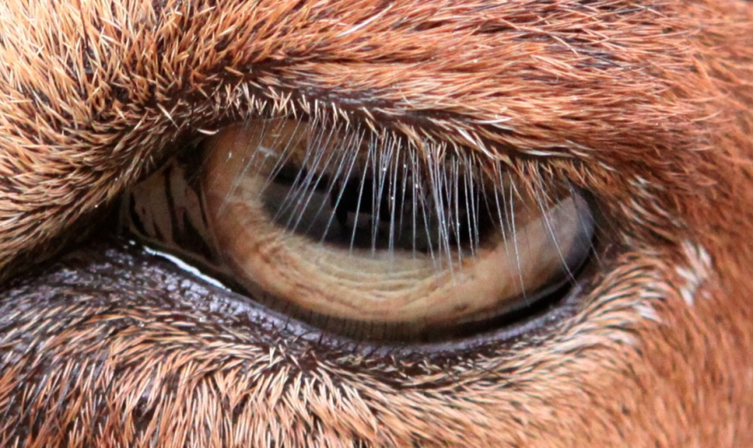 A new study explains why humans, goats and dozens of other mammals have eyelashes.