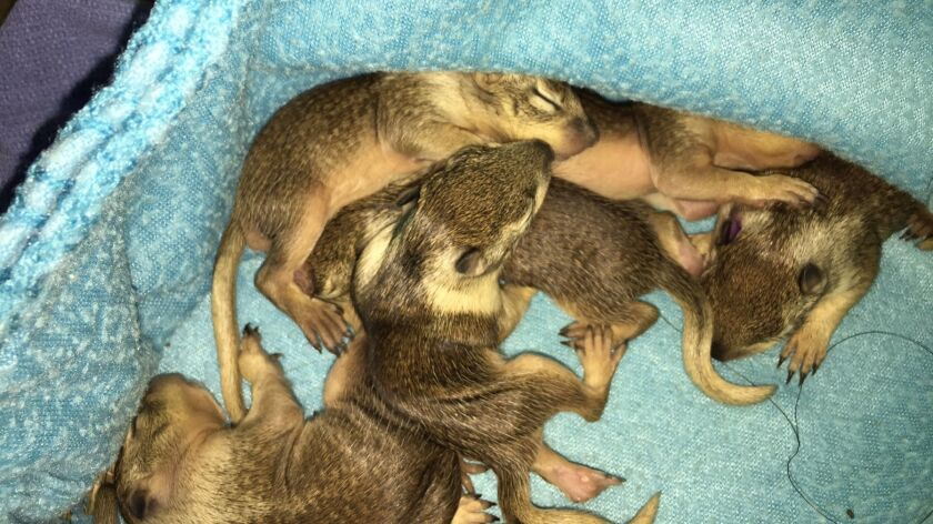 Baby squirrels are kept under a blanket to replicate their natural setting of being underground.