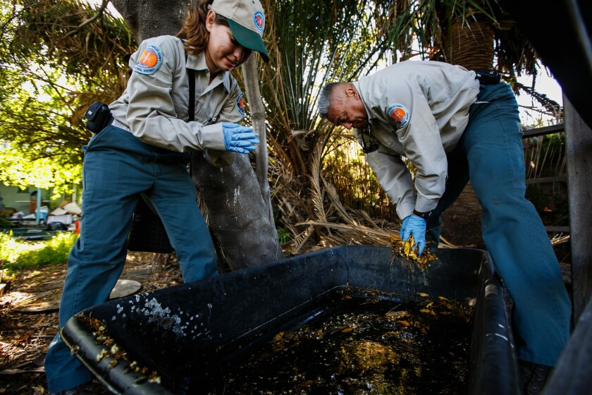 Vector control specialists Yessenia Avilez, left, and Randy Garcia in a backyard in Silver Lake