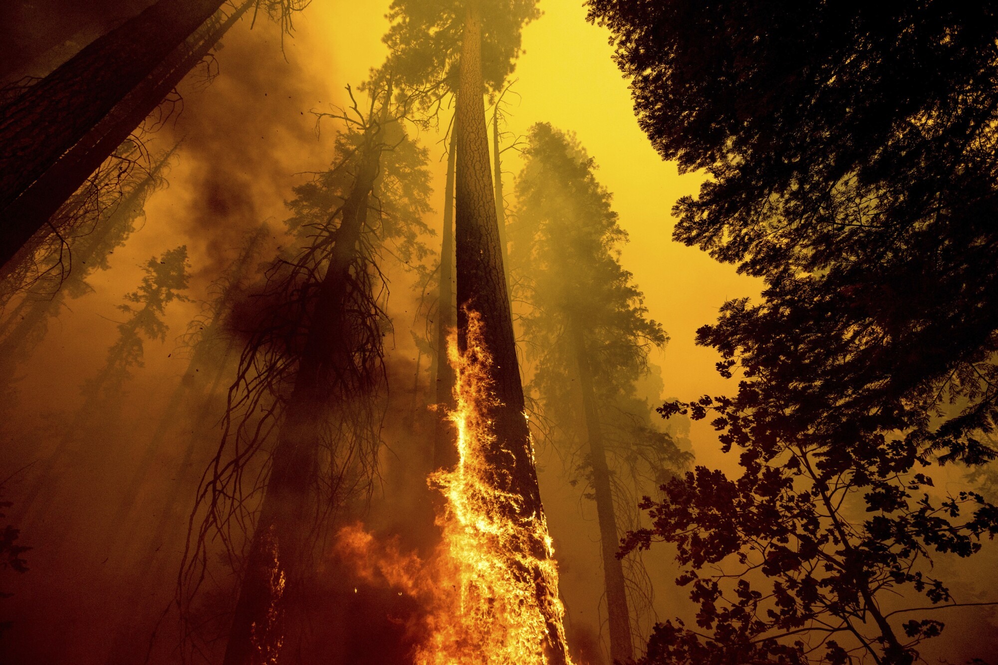 Flames burn up a giant tree surrounded by thick smoke