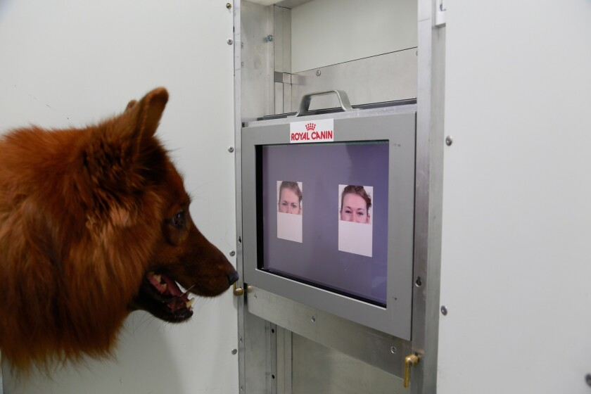 Dogs can tell the difference between angry and happy faces even when they only see half the face, according to a new paper in Current Biology.