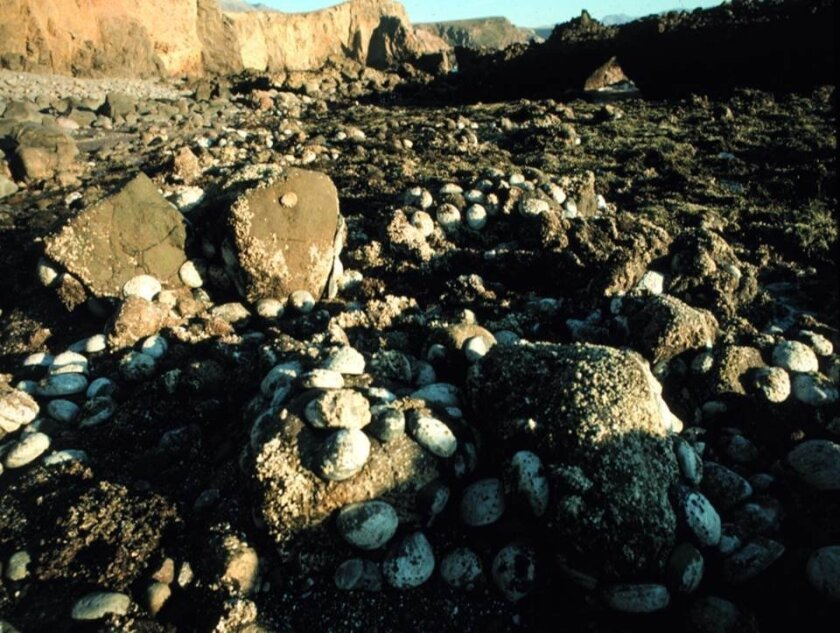 Black abalone cover the intertidal zone on Santa Cruz Island in 1986, shortly after withering disease struck colonies in the Channel Islands. The disease and overharvest eventually led to harvest closures and federal protections under the Endangered Species Act. The shellfish are one of the most co