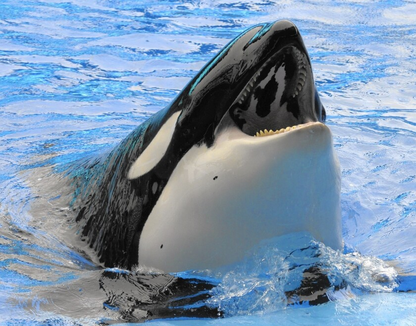 A killer whale performs at the SeaWorld theme park in Orlando, Fla.