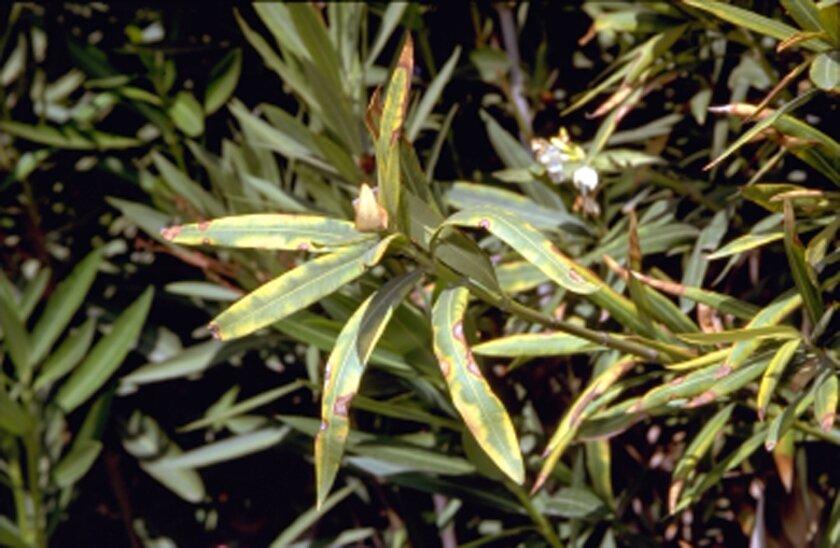 Diseased oleander leaves.