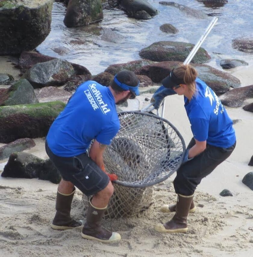 La Jolla Light readers Marjorie Bree Silva and Ralph Castro submitted this photo of SeaWorld crews rescuing a starving and malnourished sea lion at La Jolla Cove Wednesday.
