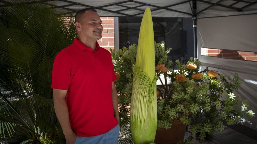 """Brian Thorson, botanical curator at Cal State Long Beach, stands next to """"Phil,"""" which is predicted to bloom in the next 24 hours."""