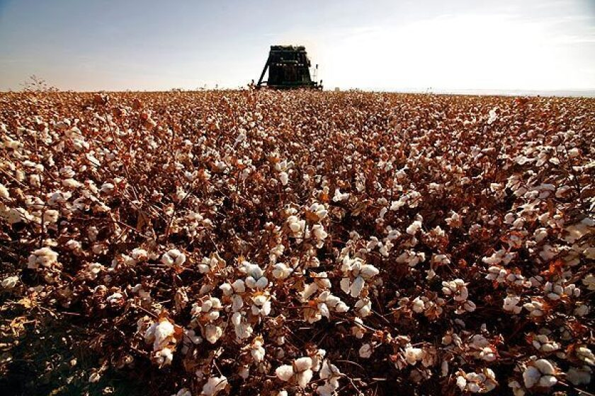A field of cotton is harvested in Stratford in Central California. See full story