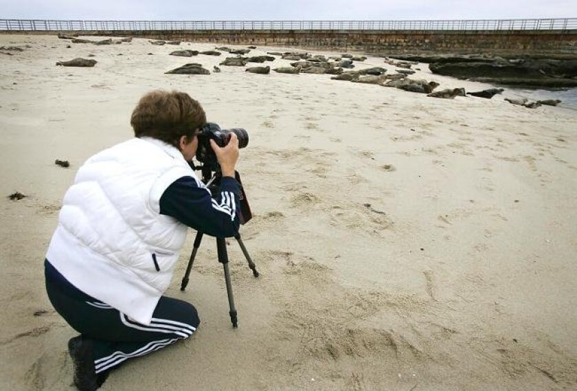 Krystina Wisniowska of downtown San Diego was up early this morning May 18, 2010, shooting photos of the seals at the Children's Pool in La Jolla. The San Diego City Council voted last night 6-2, to ask Mayor Jerry Sanders to declare an emergency over the seal colony so the city can put up a temporary rope barrier.