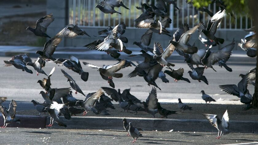 Pigeons flock outside the West Flamingo Senior Center in Las Vegas.