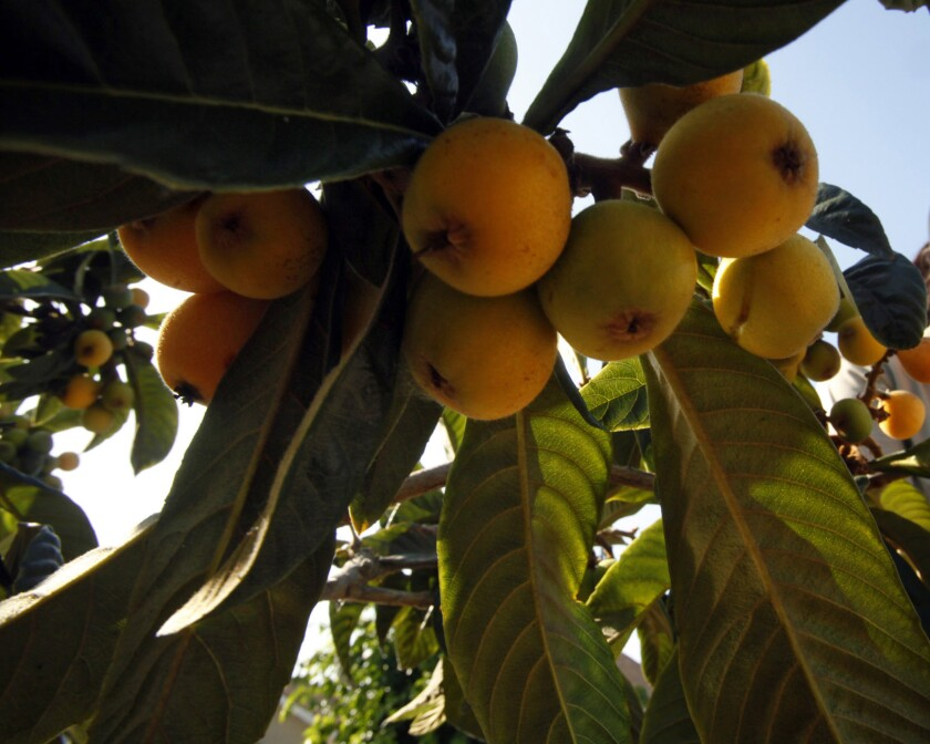 A closeup of loquats ripening on a branch.