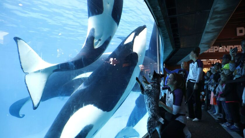 Kaja, a Queensland heeler from the Pets Rule! show, is accompanied by trainer Danica Waitley as she peers into the killer whale tank during Inside Look at SeaWorld.