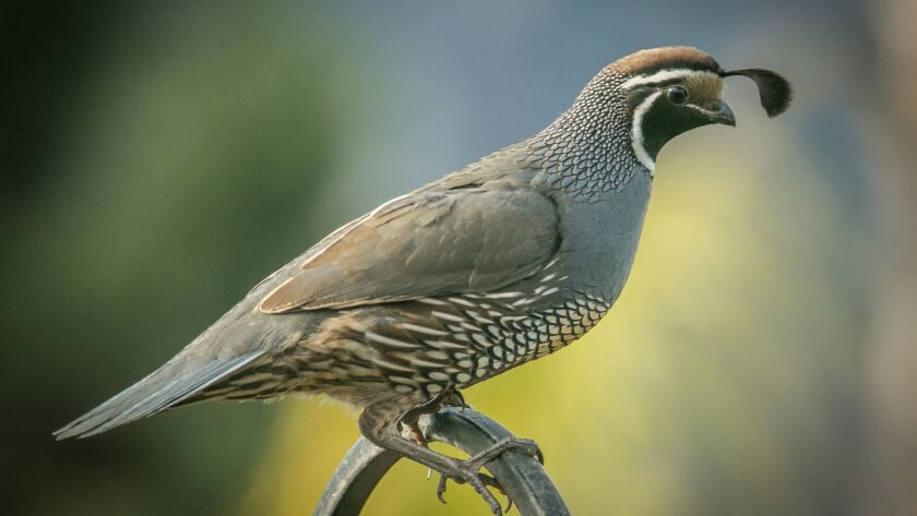 California quail are the most common of three resident quail species in San Diego County.