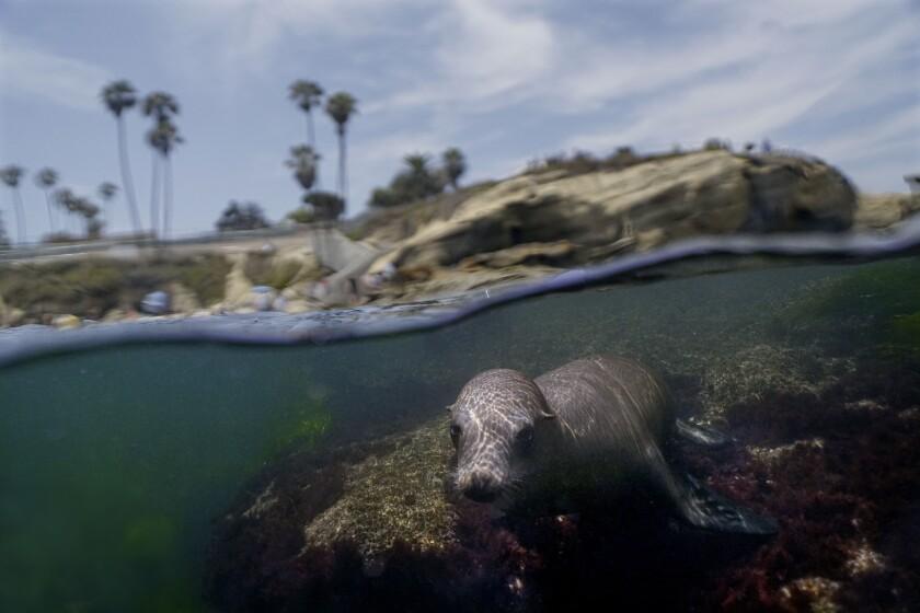 A California Sea Lion