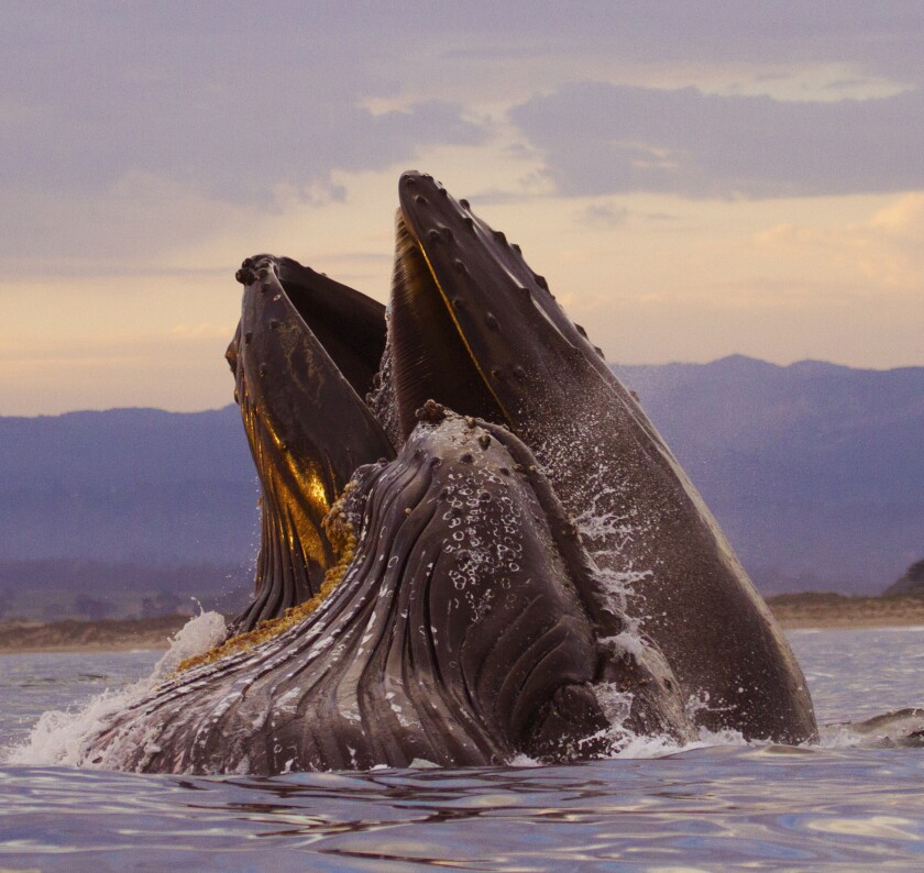 A mother humpback and her calf surface feed on anchovies in the Monterey Bay at sunset.