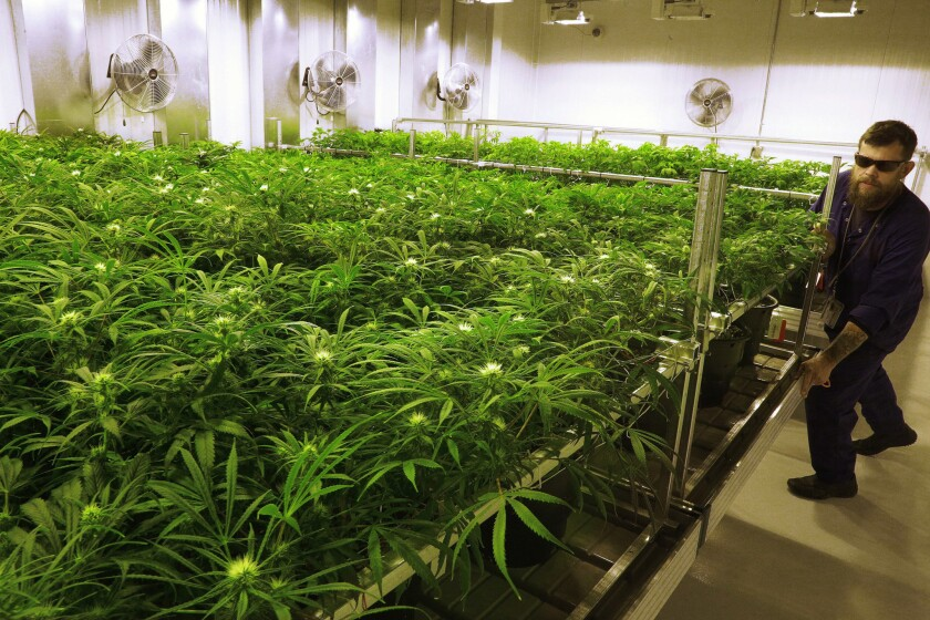 """Grower Dave Wilson cares for marijuana plants in the """"Flower Room"""" at the Ataraxia medical marijuana cultivation center in Albion, Ill."""