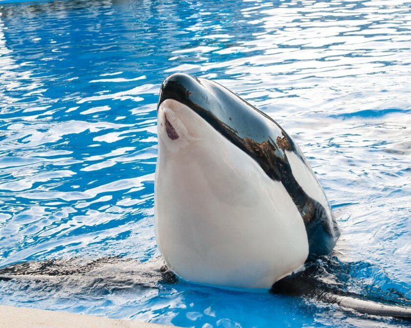 "SeaWorld photo of Nakai, taken Monday. ""Our vets are extremely pleased with his progress and feel the wound is 85 to 90 percent healed,"" spokesman Dave Koontz said."
