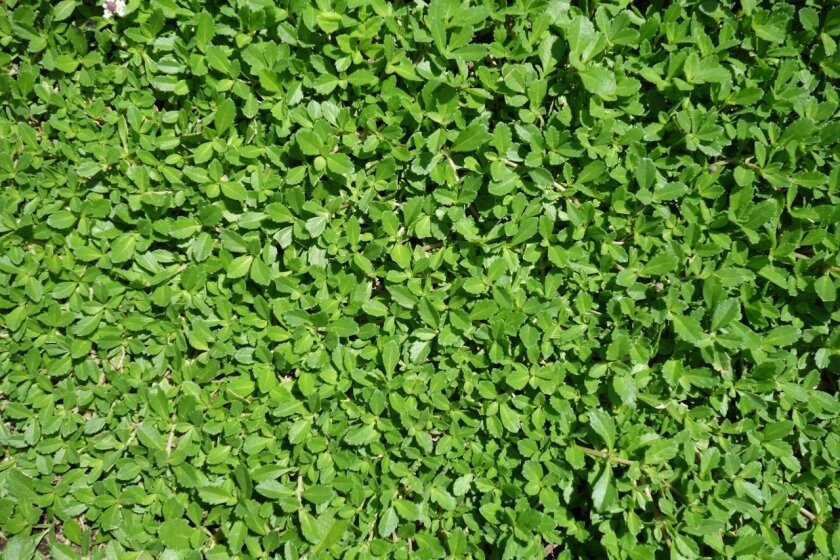 Kurapia is a quick-growing ground cover developed for drought conditions.