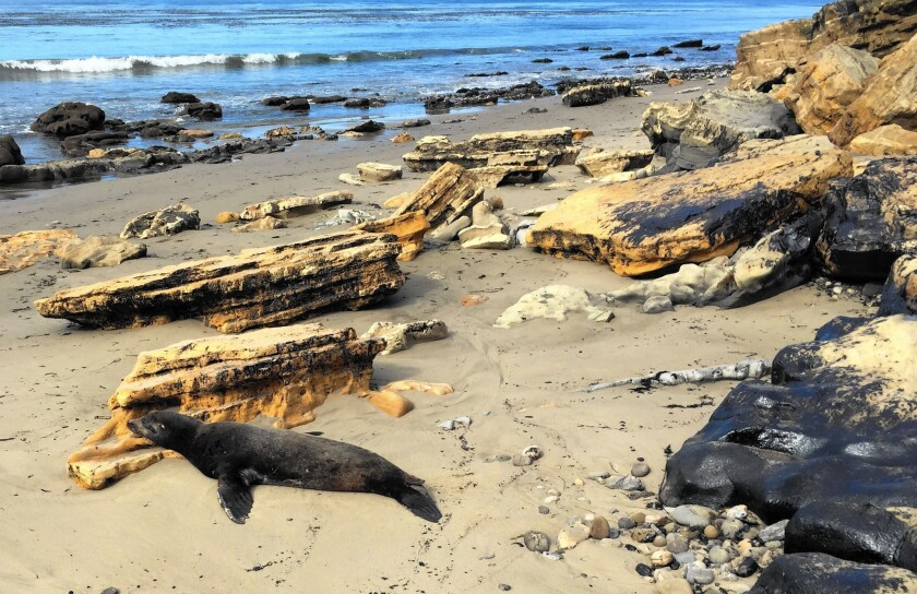 A sea lion covered in oil struggles on the sand just west of El Refugio State Beach, about 100 feet from where the oil spill flowed into the ocean.