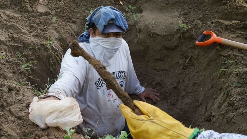 Rufino Bustamante, whose son is missing, helps as activists unearth human remains from a clandestine grave outside Veracruz, Mexico, in August 2016.