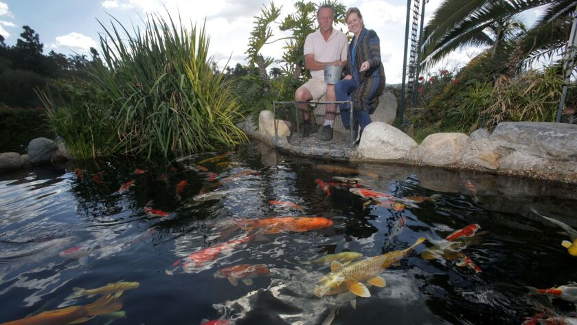 James Van Jen and his wife Kelly feed koi fish in a koi pond at KoiLand in Vista Wednesday. photo by
