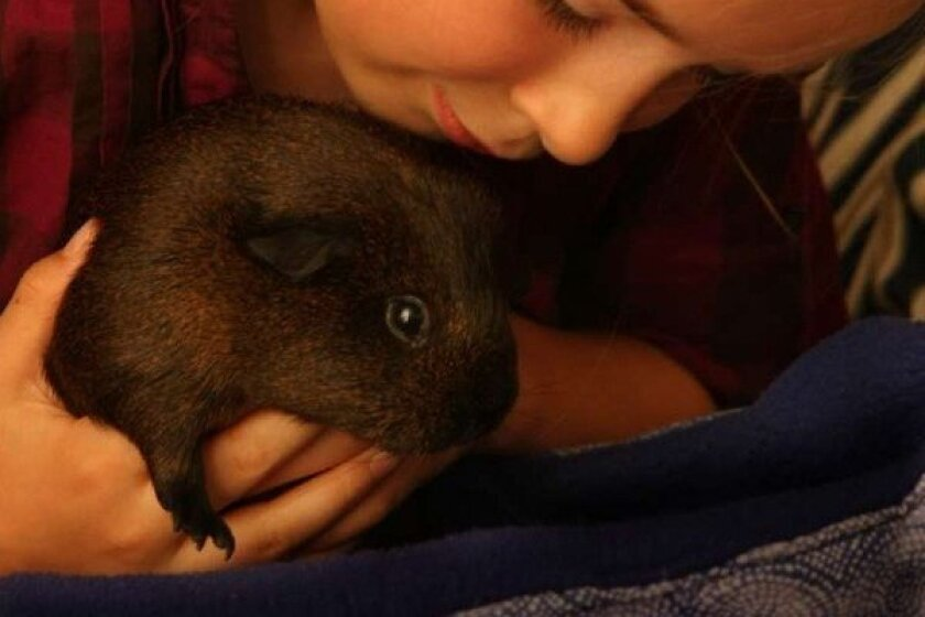 Teacher's pet? Guinea pigs may help autistic kids in classroom