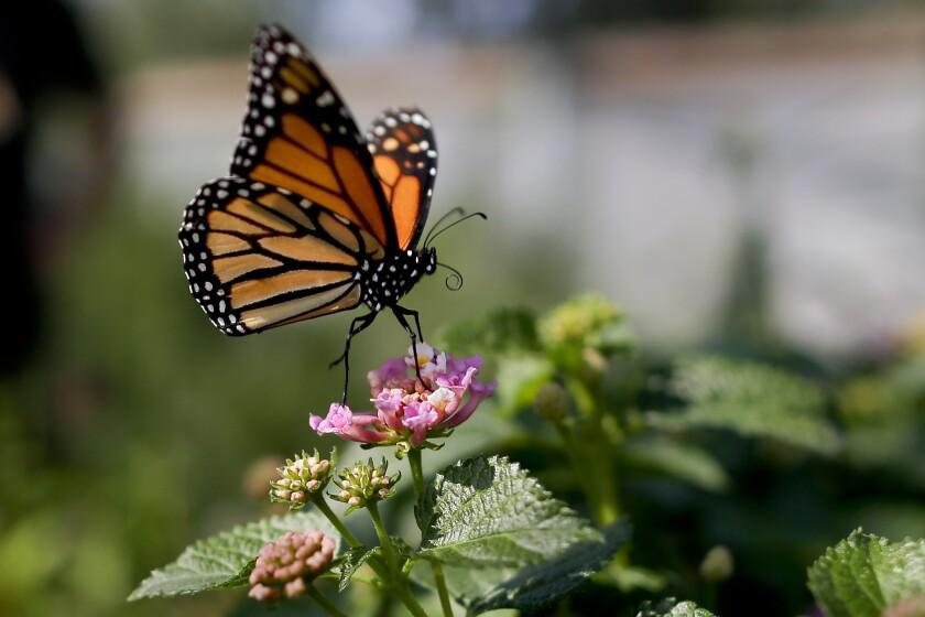 Monarcas, cada vez más cerca de la extinción en California