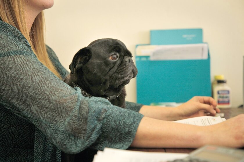Kelli Wood works at her computer with her pug, Philbert, in her lap at A7D Creative Group, Inc., in North Park.