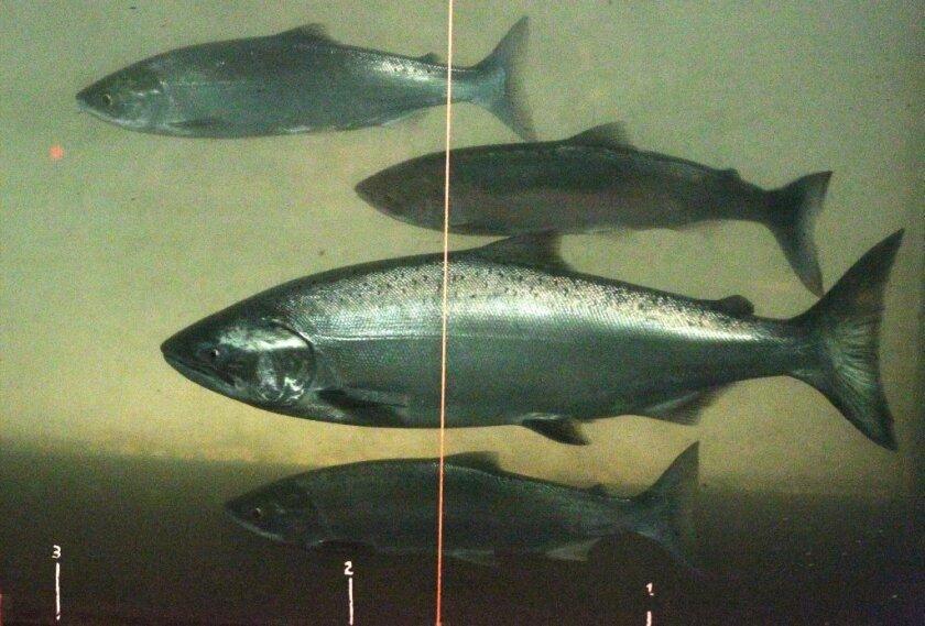 Chinook and sockeye salmon at a dam in Washington state.
