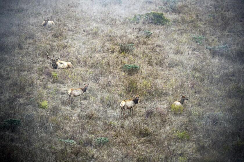 Tule elk roam in a reserve at Point Reyes National Seashore on Aug. 28, 2020.