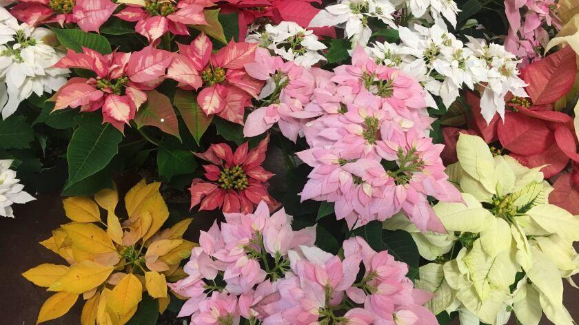 Poinsettias Will Grow On In Your Garden The San Diego Union Tribune