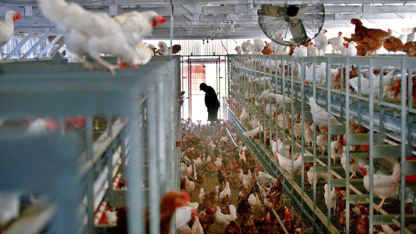 Cage-free egg production in San Diego County