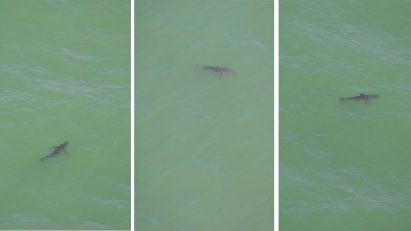 Twenty sharks were spotted off the coast of San Francisco on Friday. A U.S. Coast Guard crew managed to capture individual sharks in photos from the air Oct. 16.