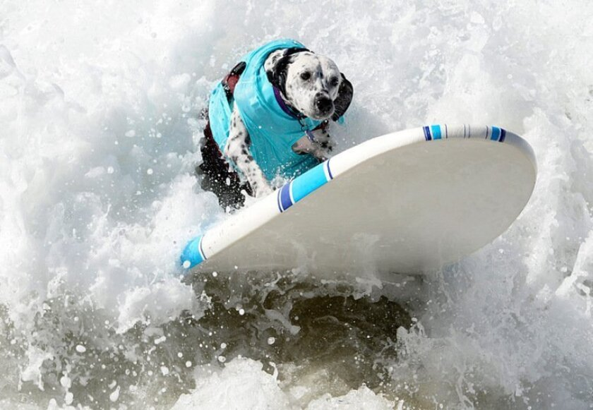 Kaylee, a dog belonging to Scott and Joanne Owen of Temecula, goes full out in a surf contest earlier this year.