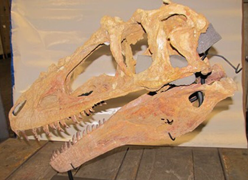 This photo provided by the U.S. Attorney's Office for the Eastern District of New York, Friday, Sept. 5, 2014, shows a fossil of a 65-million-year-old dinosaur. The skull was smuggled into the U.S. by a French company that tried pass the fossil off as a cheap replica. Federal prosecutors say the skull must be forfeited. It will likely be returned to Mongolia, where national law prohibits the sale of such artifacts outside the country. (AP Photo/U.S. Attorney's Office for the Eastern District of New York)