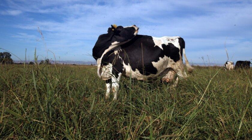 A cow on an organic farm in Merced County.