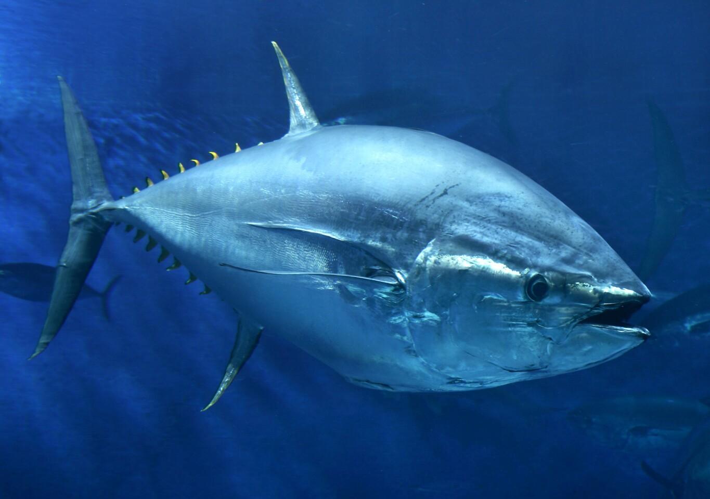 A Pacific bluefin tuna.
