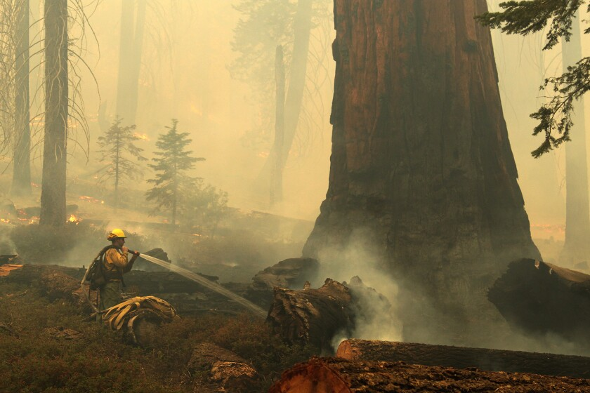 With smoke all around, a firefighter sprays water around the base of a giant sequoia on Sunday.