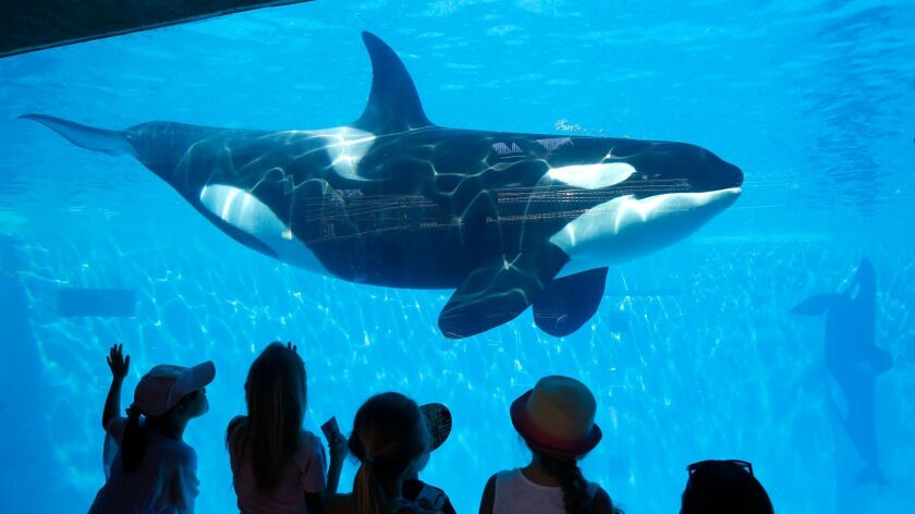SeaWorld San Diego visitors view an Orca whale through a window at the park on Aug 14, 2014.